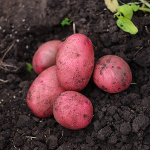 New Season Merlot Potatoes 1kg