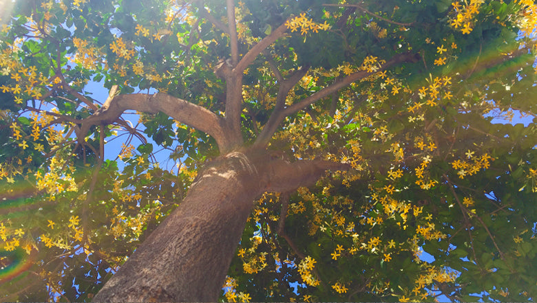 Tree with yellow blooms