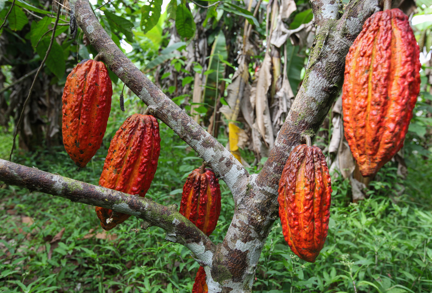 Chocolate Collective Canada cocoa pods