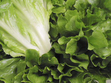 Organic Escarole, 1 head from Everything Under the Sun - San Francisco Farmers Market Delivery
