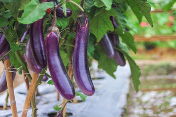 Organic Asian Eggplant, 1 unit from GG Farm - San Francisco Farmers Market Delivery