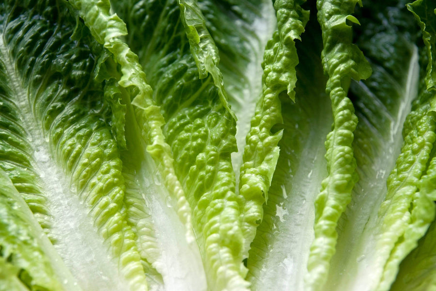 Organic Romaine Lettuce, 1 head from Green Thumb Organics - San Francisco Farmers Market Delivery