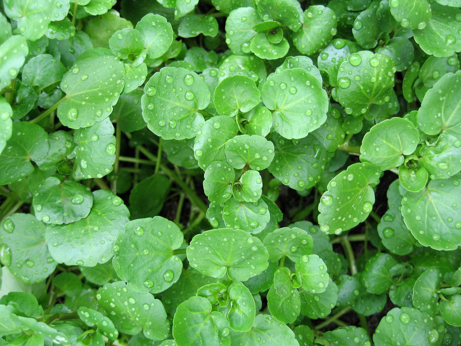 Organic Watercress, 1 bunch from Happy Quail Farms - San Francisco Farmers Market Delivery