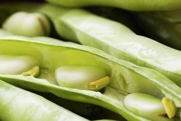 Organic Baby Fava Beans, 16oz from Iacopi Farms - San Francisco Farmers Market Delivery