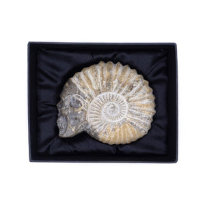 HAND CARVED AMMONITE SHELL SKULL - FOSSIL - 5""