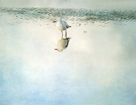 """Red Billed Gull"" - Raymond Ching"