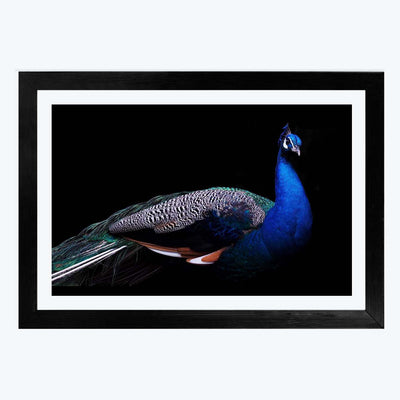 Peacock Framed Poster