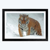 Tiger Animal Framed Photography