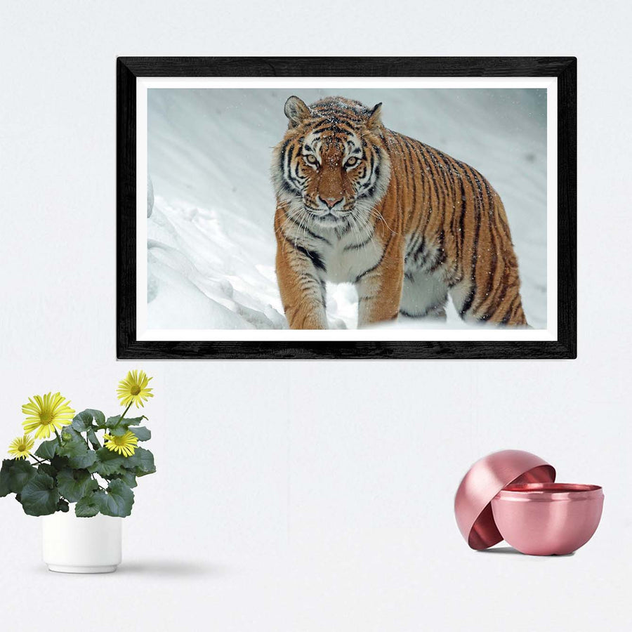 Tiger Framed Photography
