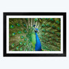Peacock Animal Framed Photography