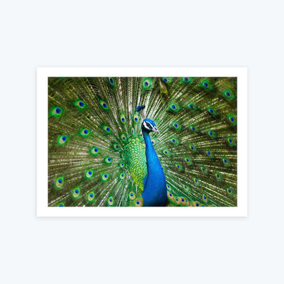 Peacock Framed Photography