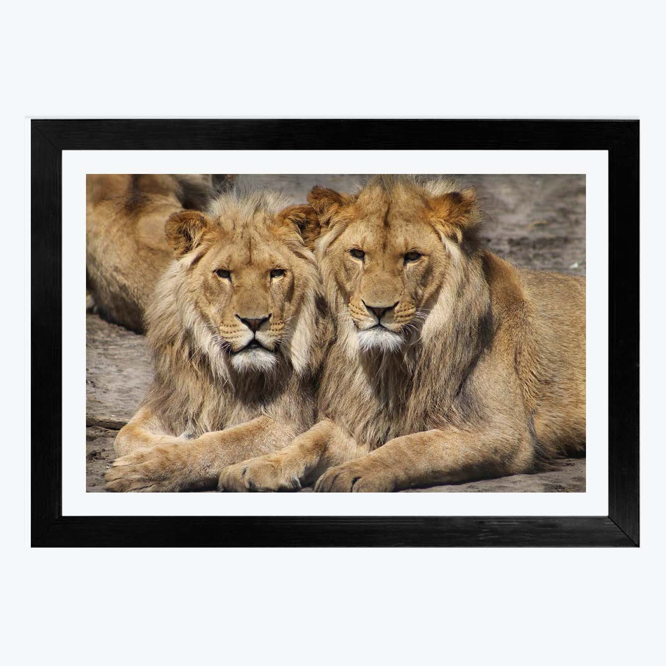 Couple Lion Animal Framed Photography