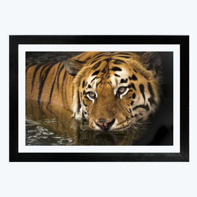 Lion Animal Framed Photography