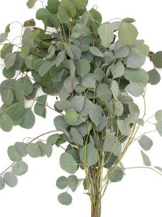 Eucalyptus Gum Leaves