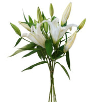 ORIENTAL LILLY White