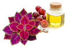 Coleus and Grape Seed Extract <
