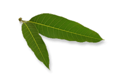 Indian Willow