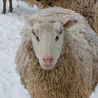 Load image into Gallery viewer, Roving - Finn Sheep Roving - 2 ounces