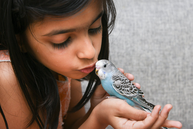 Young girl kissing little blue budgie.