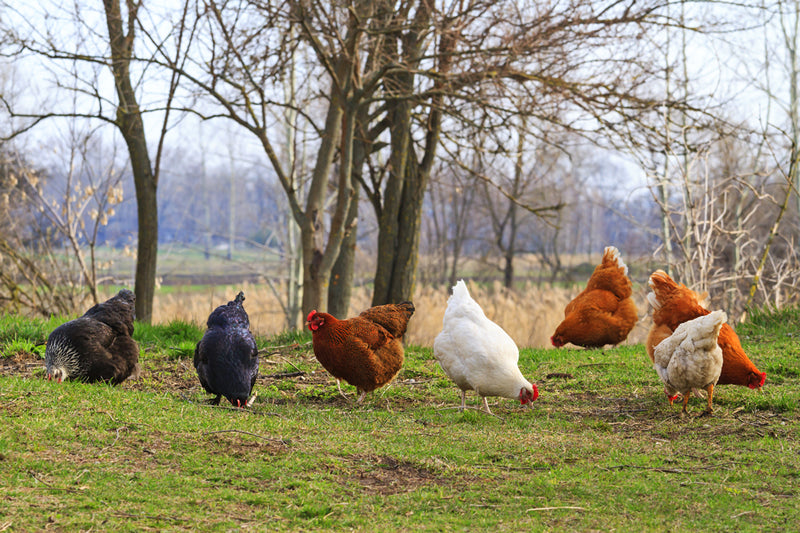 Many chickens on a farm eating feed.