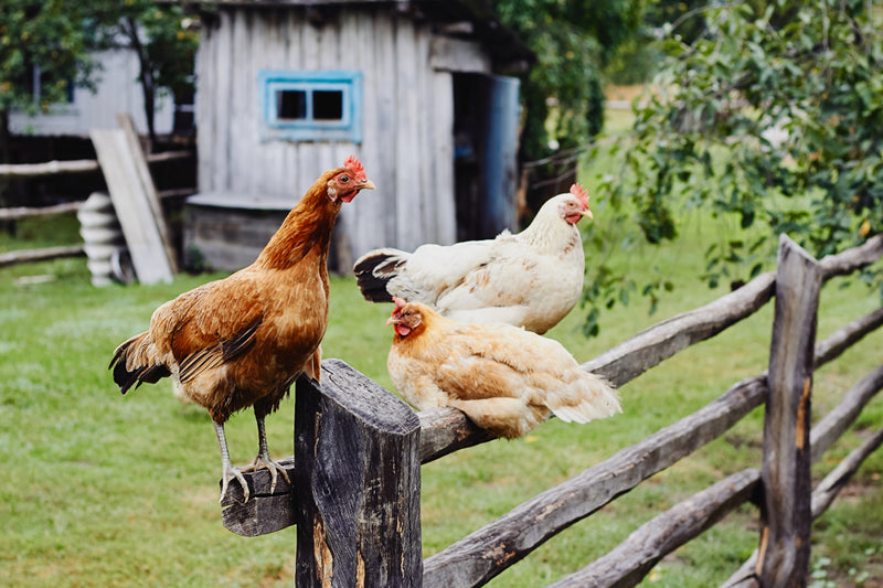 Chickens that have access to the outdoors can handle smaller-sized coops.
