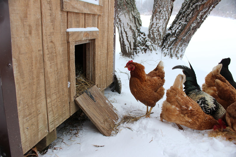 Chickens can be happy in the winter if you follow a few healthy tips.