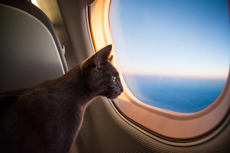 Check your airline's requirements before flying with your cat.