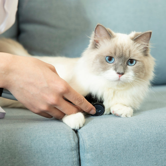 Taking your cat's heart rate is fairly easy; just be calm and your kitty will think you're simply petting her.