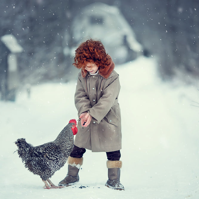 Do chickens lay eggs in the winter? Find out why hens lay fewer eggs during the winter months.