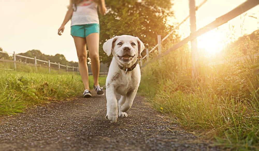What temperature is too hot to walk a dog? — K&H Pet Products