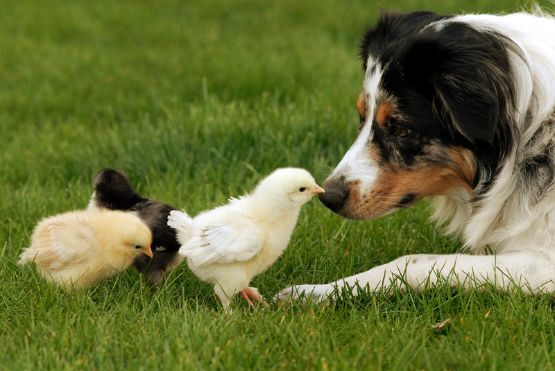 Australian shepherds are a dog breed that may be good with chickens.