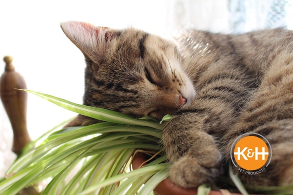 The spider plant is a safe, non-toxic plant to have in your home, whether you have dogs or cats.