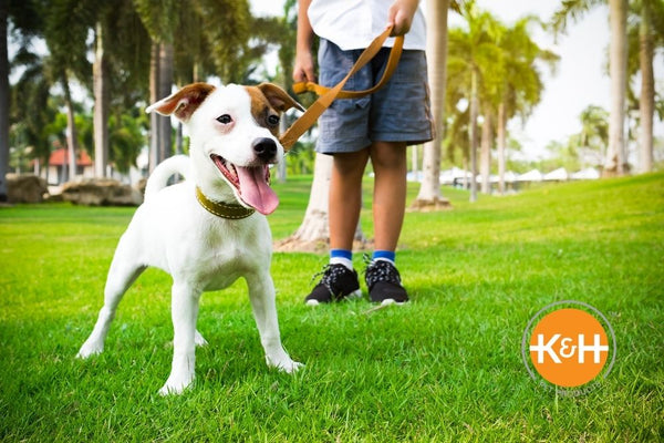 You can safely walk your dog outside in the warmer months as long as you take precautions.