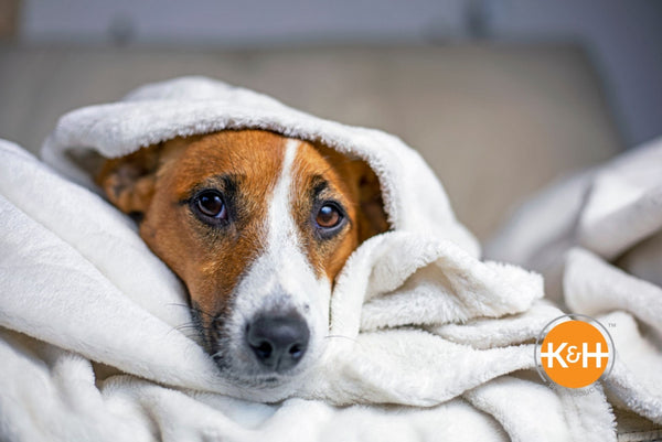 Yes, dogs can catch a cold. There's a lot you can do to keep your pup comfy while he's feeling sick.