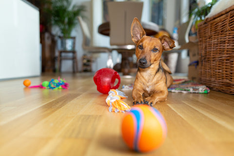Dog with toys.