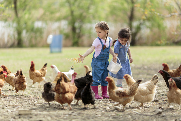 There are many types of chicken feed to choose from. Here's how to choose the right one for your flock.