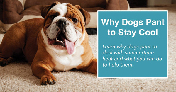 Why dogs pant to stay cool