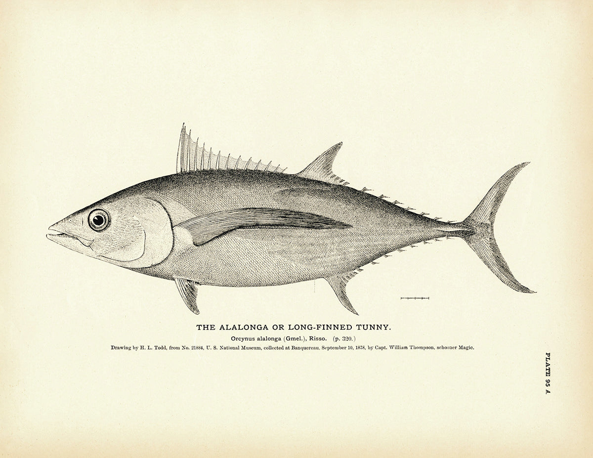 Alalonga (Long-Finned Tunny)