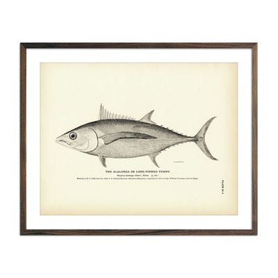 Alalonga (Long-Finned Tunny) - copy