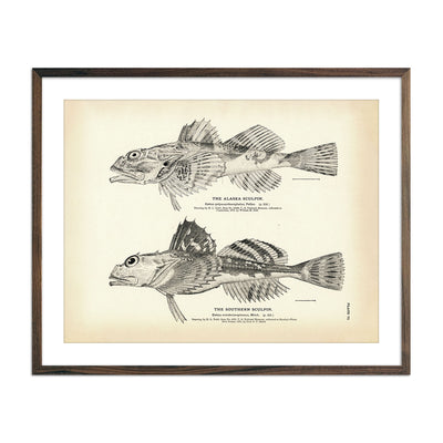 Vintage Alaska and Southern Sculpin fish print
