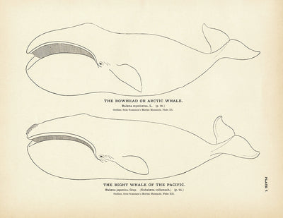 Arctic Whale (Bowhead) and the Right Whale of the Pacific