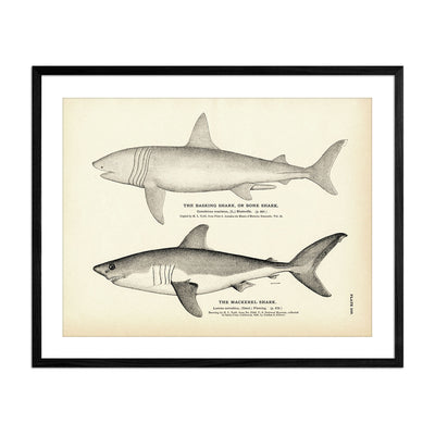 Basking Shark (Bone Shark) and Mackerel Shark