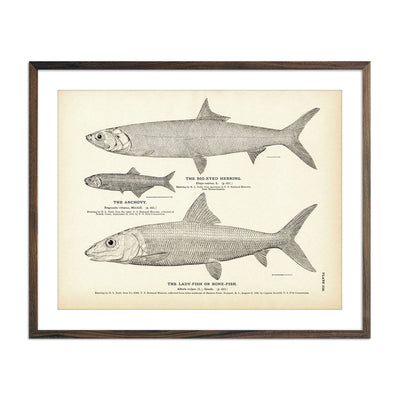 Vintage Big-Eyed Herring, Anchovy and Lady-Fish fish print