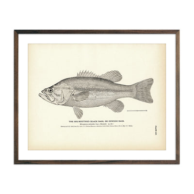 Vintage Big-Mouthed Black Bass fish print