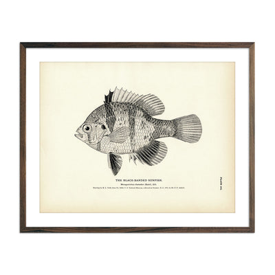 Vintage Black-Banded Sunfish fish print