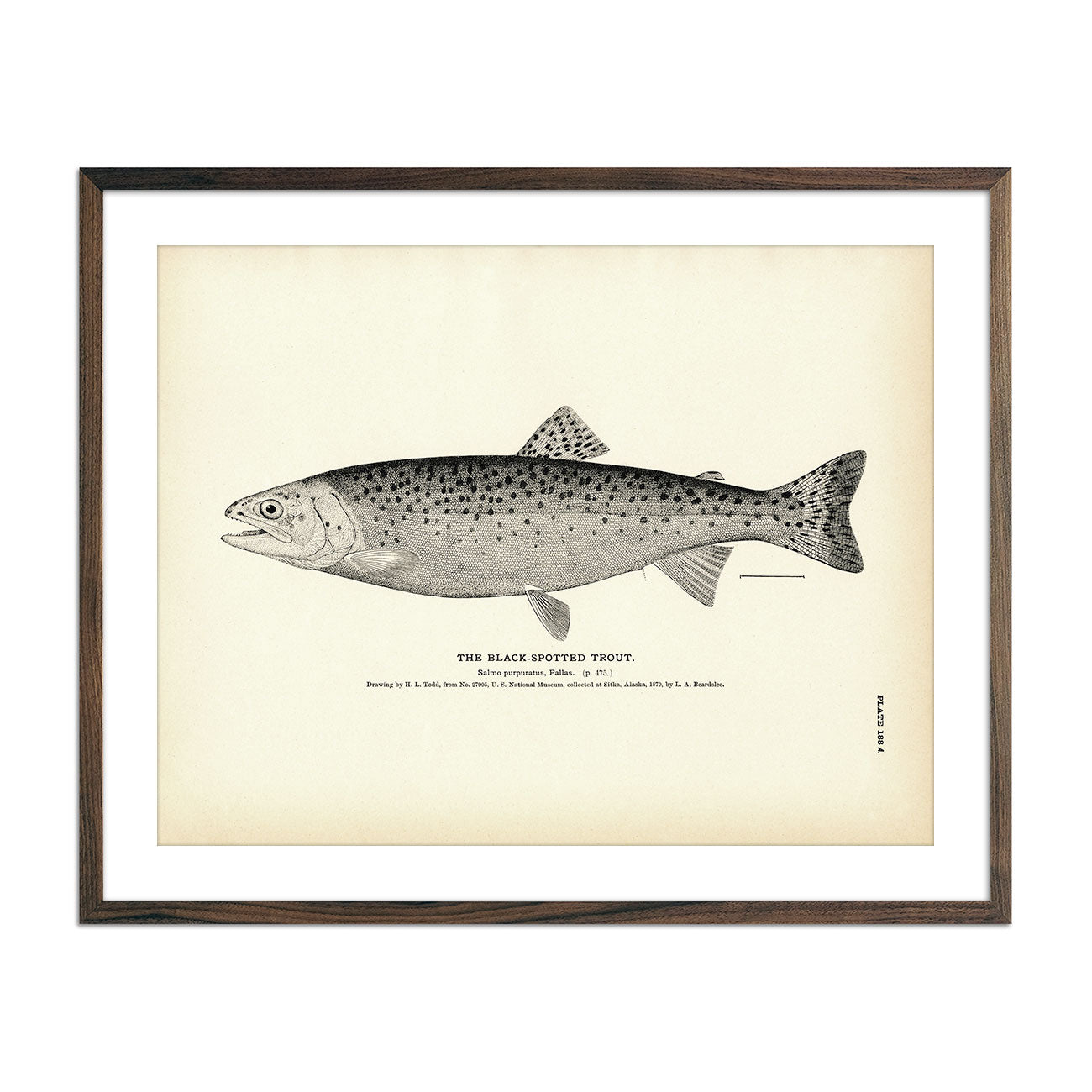 Vintage Black-Spotted Trout fish print