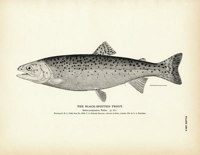 Black-Spotted Trout