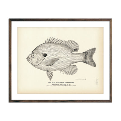 Vintage Blue Sunfish fish print