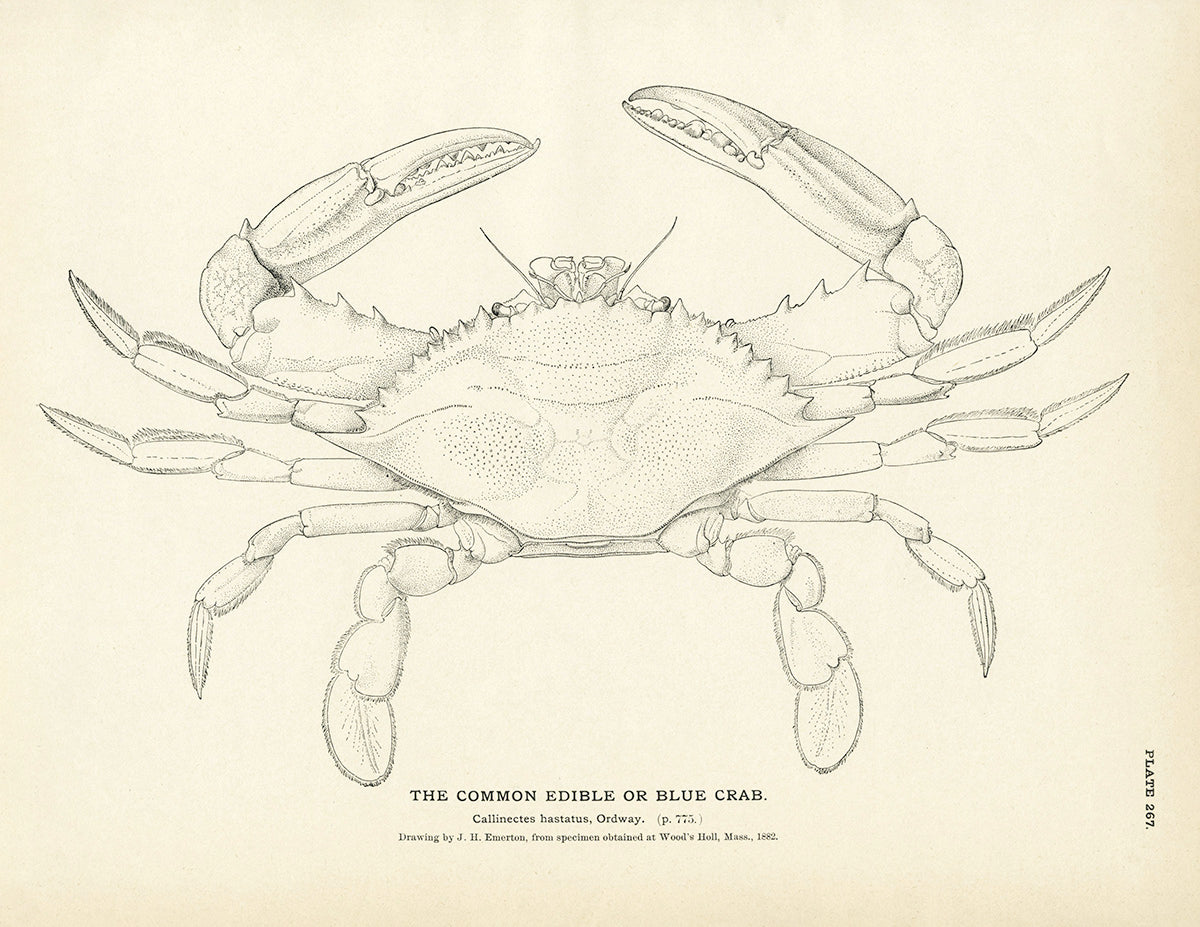 Blue Crab (Common Edible)