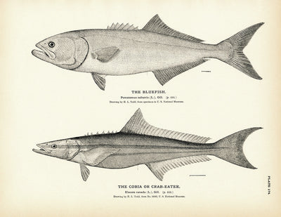Bluefish and Cobia (Crab-Eater)